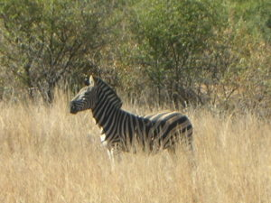 Safari Time!! Look what I saw!! #beautiful #zebra